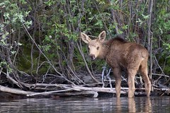 Baby Moose (northern merigold) Tags: canada yukon 5star 2011 littlesalmonlake