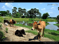 Rural Bengal (PrasunDutta) Tags: blue sky cloud india tree green rural cow pond nikon village cows colorphotography kolkata cloudscape kws piyali westbengal villagelife d90 prasun villageroad nikond90 ruralbengal kolkataweekendshoots prasundutta gourdaha gourdaho kwsian prasunsphotography
