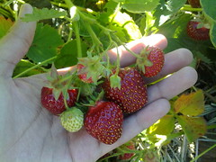 Only GOD can make those sweet and lovely strawberries. :) ( -*- RhOn -*-  ||o||) Tags: canada strawberry manitoba mb portagelaprairie