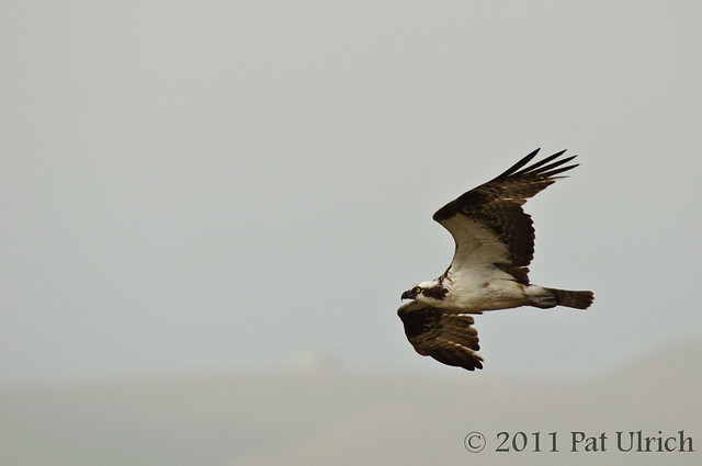Osprey in flight in Point Reyes National Seashore - Pat Ulrich Wildlife Photography