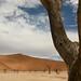 Acacias mortas desde 900 anos atras