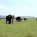 Um elefante incomoda muita gente, dois elef...
