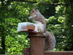 Home made feeder (Screwdriver32,more off than on :-() Tags: scotland squirrel fuji wildlife finepix fujifilm ayr ayrshire hs10 hs11 myfuji screwy32 screwdriver32 myfjui johnscrewdriver