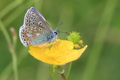 Rainy Day Blues (Chris*Bolton) Tags: blue ireland flower nature butterfly insect buttercup drop wicklow soe raindrop commonblue topshots rathdrum golddragon mywinners macromarvels theperfectphotographer goldstaraward natureselegantshots artofimages thebestofmimamorsgroups