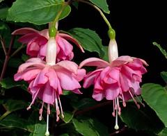 Kit Oxtoby (Ian Lonsdale) Tags: flowers fuchsia ef100mmmacrof28 canon5dmk2 kitoxtoby