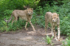 Young twin cheetahs (Foto Martien) Tags: africa wild holland netherlands dutch animal speed cat zoo kat asia arnhem young nederland fast safari bigcat burgers afrika cheetah speedy wildcat chita veluwe burgerszoo cheeta safaripark jong dierentuin gelderland azi gepard dierenpark acinonyxjubatus guepardo gupard jachtluipaard ghepardo burgersdierenpark a550 fastestlandanimal burgerssafari martienuiterweerd martienarnhem sony70300gssmlens sonyalpha550 mygearandme mygearandmepremium mygearandmebronze mygearandmesilver mygearandmegold ringexcellence fotomartien