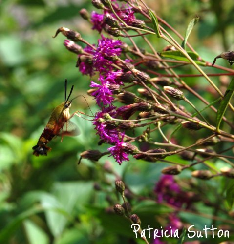 05-HummingbirdClearwing-Ironweed-SuttonGDN-8-19-10(edit)-w-signature