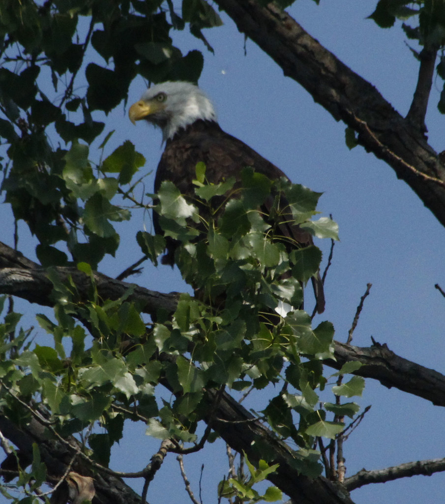 The world 39 s best photos of baldeagle and huge flickr for Fish branch tree farm