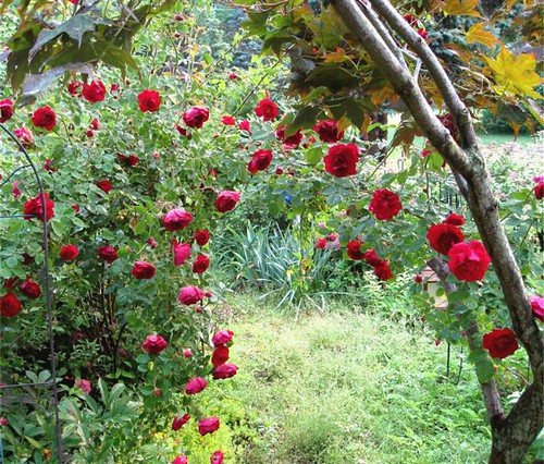 rosaerie