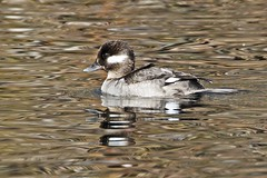BUFFLE F 0094 (bryanjsmith62) Tags: bird pictures ducks bufflehead bucephalaalbeola anatidae wildbirds waterfowl birdsofarizona