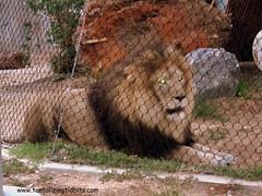 lion (Shockingly Tasty) Tags: ca zoo sandiego lion sandiegopride
