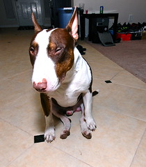 LMAO! pic made my day (MDiabCCT) Tags: blind lol mini bull terrier wink