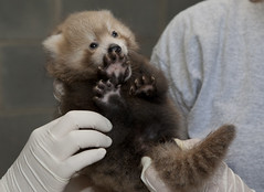 SCBI-FR red panda cub (Smithsonian's National Zoo) Tags: usa va crc frontroyal phylumchordata kingdomanimalia classmammalia ordercarnivora scbi genusailurus veterinarianexam speciesfulgens familyailuridae