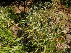 Gnaphale de Norvège=Gnaphalum norvegicum - Aravis 045