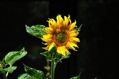 One Eye (elerelf) Tags: plants black flower nature yellow flora natur pflanzen gelb sunflower bloom blume blüte schwarz sonnenblume bestofmywinners bestofblinkwinners