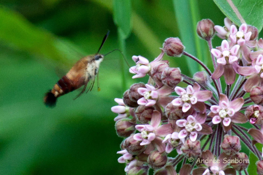 Snowberry Clearwing Moth (Hemaris diffinis)-7.jpg