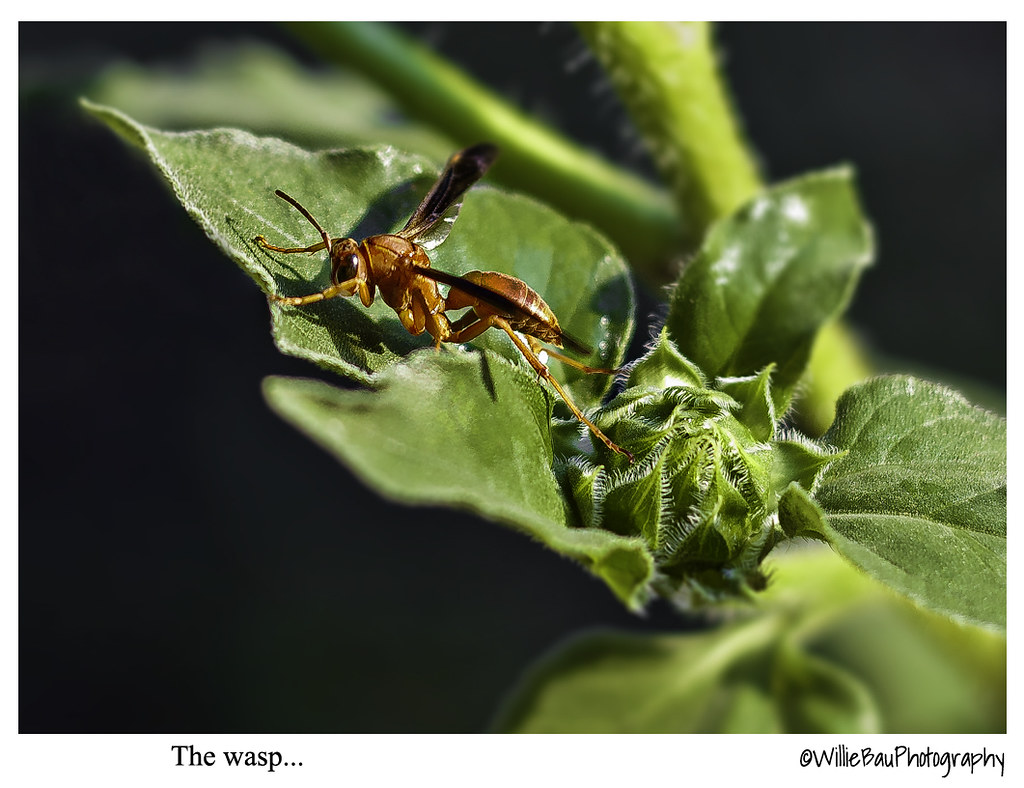 The wasp...