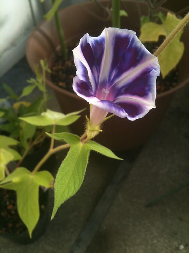 曜白朝顔の紺色の写真