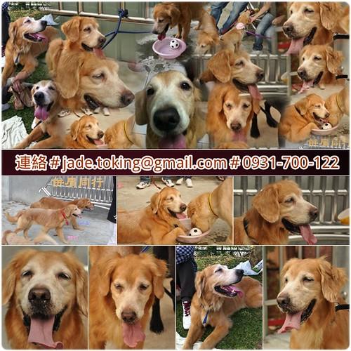 「嚴選推」台北從三重河堤救援瀕死的黃金獵犬寶妹~她分享眾多網友為救援她的基金,救了一堆學弟妹自己卻還沒找到幸福!20110726