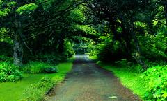 Arch Cape, Oregon - a Driveway (VVTECRACING) Tags: light usa green mamiya oregon mediumformat photography photo woods 645 path toad greenery phase roadway afd p45 phaseone archcapearchcapeoregonadriveway
