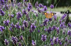 fjril bland lavendel (Asa Lundqvist) Tags: summer naturaleza nature canon flora sweden natur blomma sverige suecia sommar lavendel fjril purplebutterfly