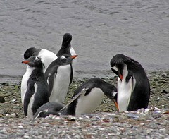 "012 Gentoo penguin East Falkland 2 ev • <a style=""font-size:0.8em;"" href=""http://www.flickr.com/photos/36398778@N08/5990657939/"" target=""_blank"">View on Flickr</a>"