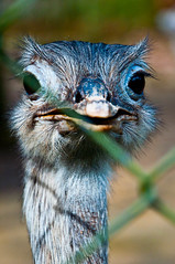 Avestruzando (ca.milacabral) Tags: animal zoo olhar olhos avestruz ema foco desfoque