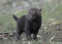 Bush dog puppy out of the den (gentle lemur) Tags: puppy chesterzoo bushdog speothosvenaticus