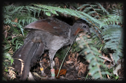 Superb Lyrebird Foraging