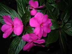 Fleissiges Lieschen ... Busy Lizzy ... (RenateEurope) Tags: pink flowers flora nikon magenta blumen coolpix impatiens balsam onblack lieschen impatienswalleriana busylizzy floweronblack fleissiges s8000 natureonblack