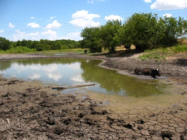 cow mud 1