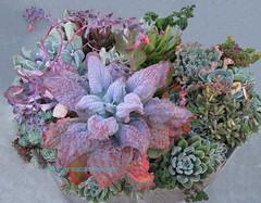 Succulent Pot (Kelley Macdonald) Tags: succulents echeveria echeveriagibbiflora echeveriaetna echeveriagibbifloravarcarunculata