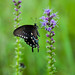 "Butterfly at the Natchez Trace on, ""Blazing Star, Gay Feather""."