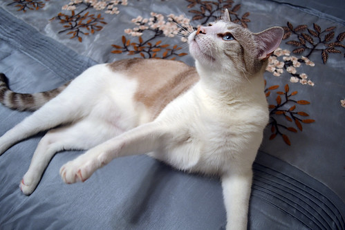 cat bed paw embroidery stripes blueeyes siamese whiskers yuki blanket reach grab whitecat claws comforter siamesemix