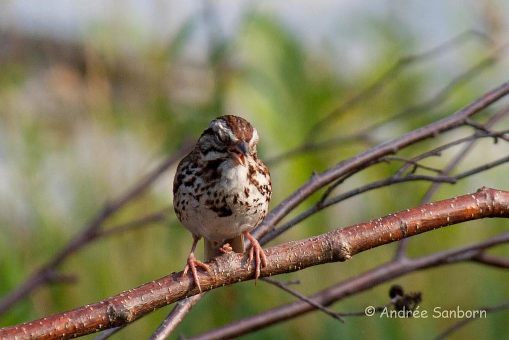 Song Sparrow (Melospiza melodia)-28.jpg