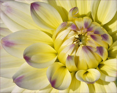 Dahlia in close up (Foto Martien) Tags: dahlia flower holland colour macro netherlands fleur dutch mexico colorfull flor nederland blume coloured asteraceae veluwe centralamerica kleurrijk bloem macrophoto kleuren polychrome bont harskamp veelkleurig macrofoto kleurig gardenflower macroopname zorgboerderij asteroideae a550 tuinbloem zorginstelling passiflorahoeve martienuiterweerd martienarnhem sonyalpha550 mygearandme mygearandmepremium minoltamacro100mm28mm mygearandmebronze mygearandmesilver mygearandmegold mygearandmeplatinum mygearandmediamond dblringexcellence fotomartien tplringexcellence northwesternsouthamerica rememberthatmomentlevel4 rememberthatmomentlevel1 rememberthatmomentlevel2 rememberthatmomentlevel3 rememberthatmomentlevel5 rememberthatmomentlevel6