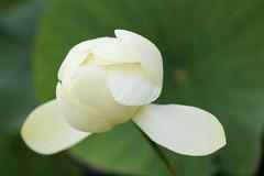 Parc floral 03.08.11 044 (MUMU.09) Tags: flores flower de photo foto lotus flor petal da  bild blume fiore  virg imagem  petalo  kwiat   flori ptalos  bltenblatt ptala        fiorediloto hoasen  flordeloto  lotusblomma floweroflotus   lotosblume fleurdelotus     ltuszvirg kwiatlotosu      lotusblomst lotusblth lotusblm   lotosovkvt lotusiei mumu09