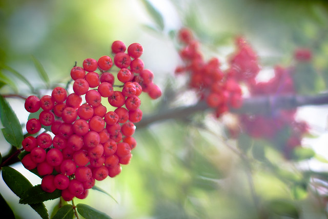Dreamy red berries