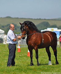 Welsh section D stallion (Vicktrr) Tags: southwales wales cob ceredigion cardigan stallion foals foxhounds welshcob bloodhounds carriagedriving cardiganshow colouredcob welshcobs welshsectiond welshsectionc welshsecd welshsectionb dairycart inhandshowing welshsectiondstallion cardigancountyshow welshcobfoal colourdhorse