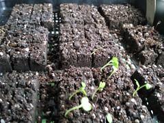 Seeds in Soil Blocks