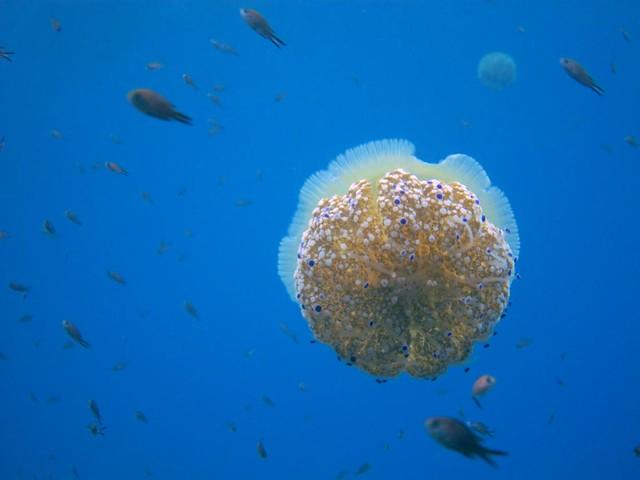 Medusa del mediterraneo I