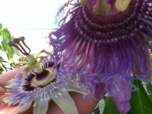 some of my passiflora - Page 2 6020135424_91683a040e