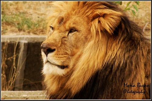 León (Panthera leo) I