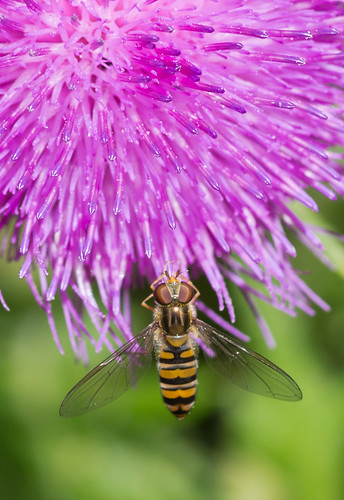 marmalade fly on thistle flower