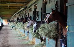 (John Donges) Tags: horses track stall racing heads hay stable equine 4544 delawareracetrack