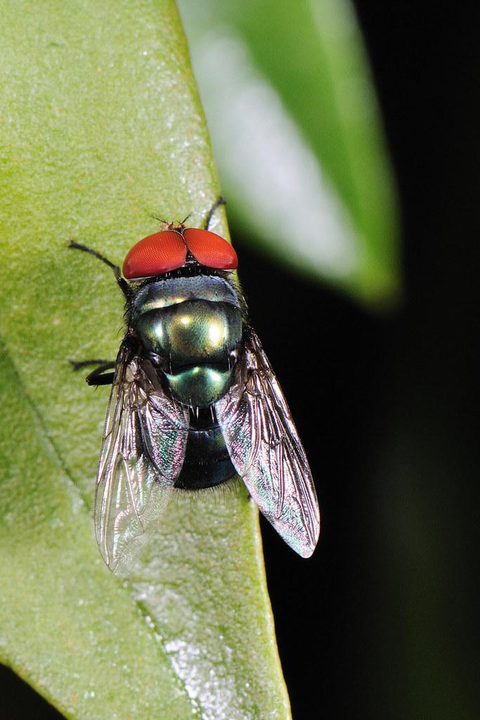 大頭麗蠅 Chrysomya megacephala