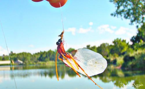 carp-fly