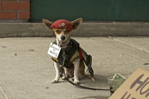 Street Chihuahua