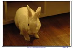超萌兔子-02 (阿鶴) Tags: macro rabbit nikon flickr d d70s f micro wesley 28 mm af 60mm nikkor 兔子 flick f28 60 chen 萌 飯糰 afd howen 阿鶴 鶴仔 chenhowen 阿鶴仔