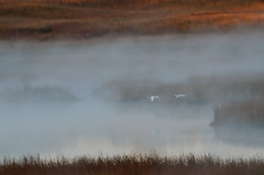 Swans in the Mist DSC_2434 by Mully410 * Images